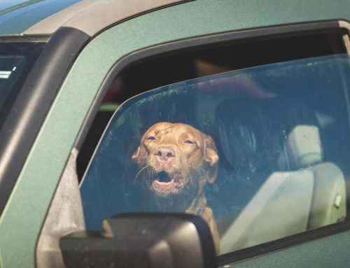 How to Keep Your Pet Cool in Hot Weather
