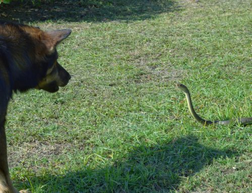 Local Wildlife—A Threat To Your Pet?